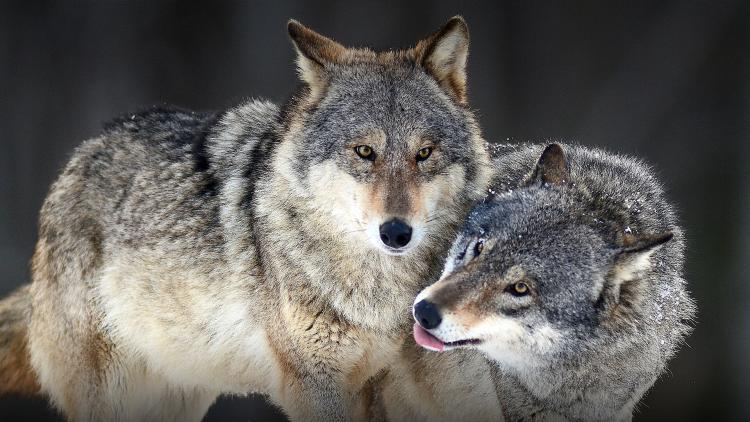 hero gray wolf animals