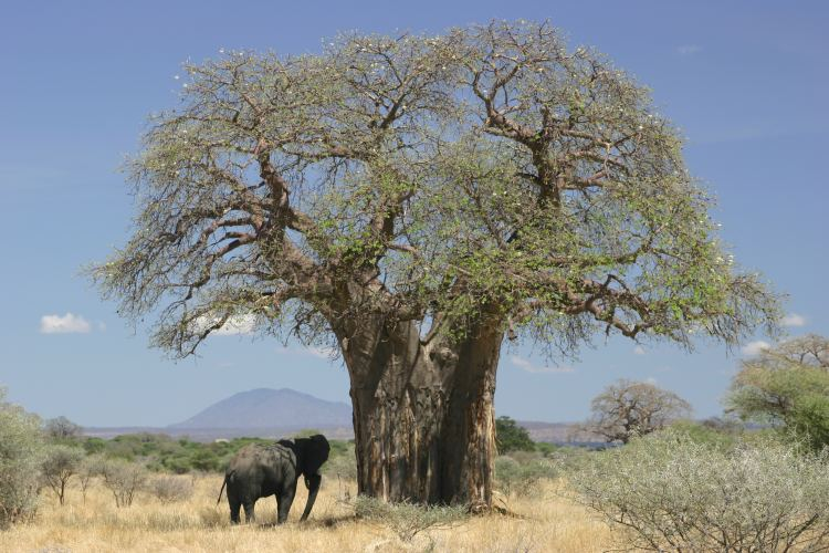 Baobab and elephant Tanzania