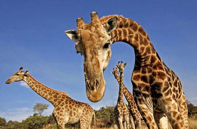 Žirafe zbog izumiranja upisane na najgori popis na svijetu