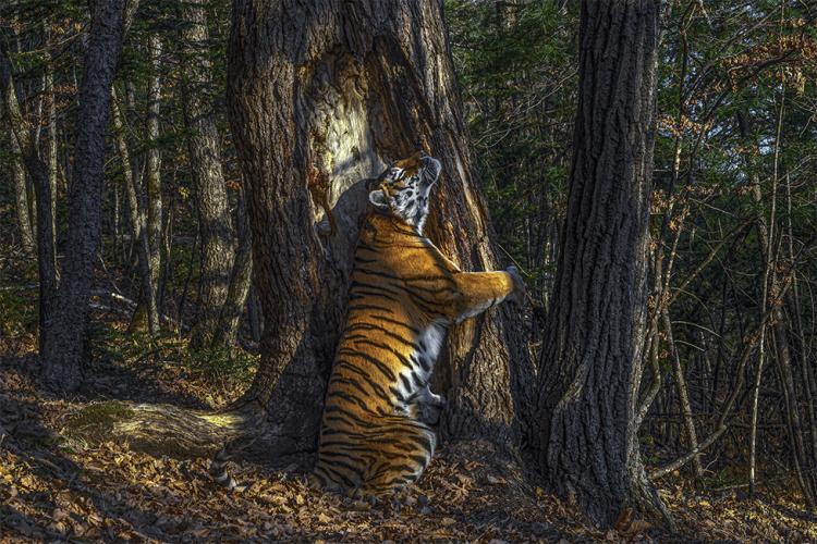 POGLEDAJTE I OSTALE NAGRAĐENE FOTOGRAFIJE! 'Tigrica koja grli drvo' najbolja je fotografija iz divljine 2020. godine!